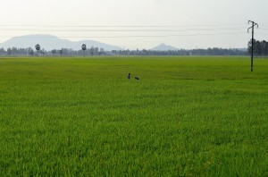Rice field - Sam Mountain